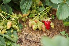 成熟的草莓 水多的绿色叶子 免版税库存照片