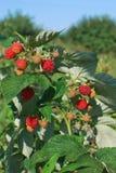 成熟的莓 免版税库存照片