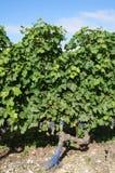 成熟的葡萄 免版税图库摄影