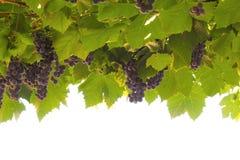 成熟的葡萄 库存图片