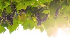 成熟的葡萄 免版税库存照片