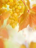 成熟的葡萄 免版税库存图片