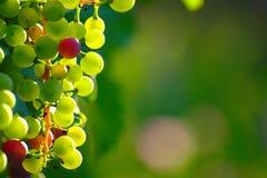 成熟的蓝色葡萄 免版税库存照片