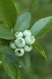 成熟的蓝莓 免版税库存图片