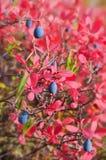 成熟的蓝莓 图库摄影