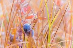成熟的蓝莓 库存照片