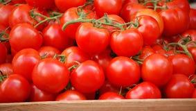 成熟的蕃茄藤 免版税库存照片