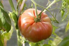成熟的蕃茄 库存图片