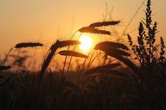成熟的谷物丰收准备好 免版税图库摄影