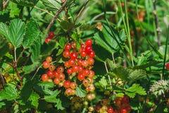 成熟的过程红色庭院无核小葡萄干莓果在晴朗的夏日 免版税图库摄影
