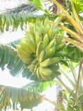 成熟的香蕉 免版税库存图片