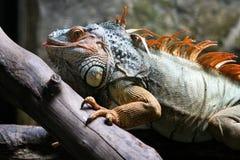 成熟的鬣鳞蜥 免版税库存图片