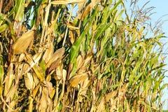 成熟的麦地 免版税库存图片
