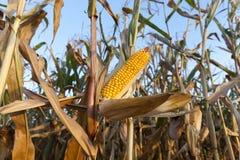 成熟的麦地 免版税库存照片