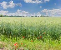 成熟的麦子的领域与鸦片的在前景 免版税库存图片