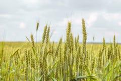 成熟的麦子耳朵绿色在horozon的 与有限的景深的农业种植园背景 免版税库存照片