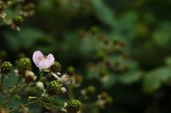 成熟的黑莓 免版税库存照片