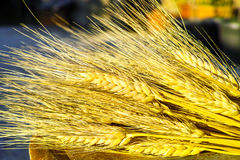 成熟硬质小麦耳朵, grano杜罗,西西里岛,意大利 库存照片
