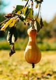 成熟秋天南瓜在一个土气菜园里 晴朗的秋天晚上在村庄 免版税库存照片