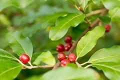 成熟秋天橄榄色的莓果(胡颓子属Umbellata) 免版税库存图片