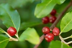 成熟秋天橄榄色的莓果(胡颓子属Umbellata) 库存图片