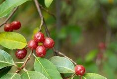 成熟秋天橄榄色的莓果(胡颓子属Umbellata) 免版税图库摄影