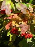 - 成熟箭木莓果 库存图片