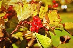 成熟红色山楂树莓果-在灌木的拉丁山楂属在阳光下 免版税库存照片