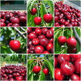 成熟红色樱桃在果树园;果子拼贴画 免版税库存照片