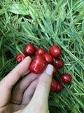 成熟红色甜樱桃在绿草说谎,并且一个莓果在手4里 库存照片