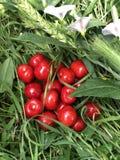成熟红色甜樱桃在绿草说谎 2?? 库存图片