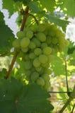 成熟绿色葡萄 免版税图库摄影