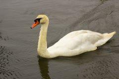 成熟脖子用羽毛装饰的疣鼻天鹅的年轻人不是充分地白色的 免版税库存图片