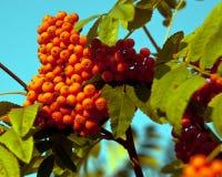 成熟花楸浆果我的窗口外 免版税库存图片