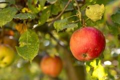 成熟苹果在一棵被日光照射了树垂悬有被弄脏的背景 库存照片