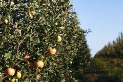 成熟苹果在庭院里 库存照片