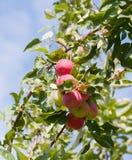 成熟苹果的分行 免版税库存照片