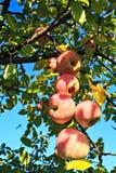 成熟苹果的分行 免版税库存图片