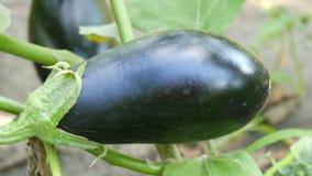 成熟茄子果子在灌木增长在庭院里 股票视频