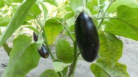 成熟茄子果子在灌木增长在庭院里 股票录像