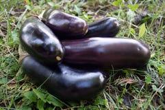 成熟茄子紫色 免版税库存图片