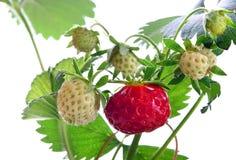 成熟草莓、叶子和绿色莓果 免版税图库摄影