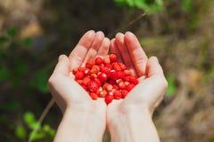 成熟草莓在自然的女性手上 库存图片
