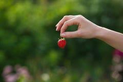 成熟草莓在自然的女性手上 库存照片