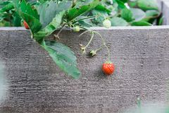 成熟草莓果子 垂悬在分支 在背景  库存图片