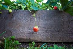 成熟草莓果子 垂悬在分支 在背景  免版税库存照片