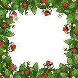 成熟草莓框架 库存照片