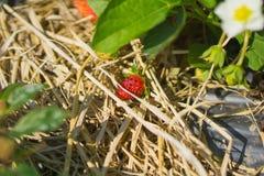 成熟草莓的特写镜头在庭院里 库存图片
