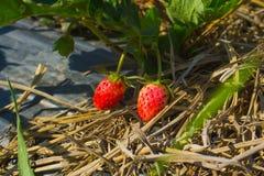 成熟草莓的特写镜头在庭院里 免版税库存图片