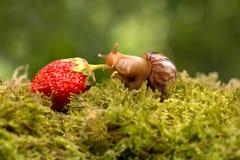 成熟草莓蜗牛足迹在绿草的 库存图片